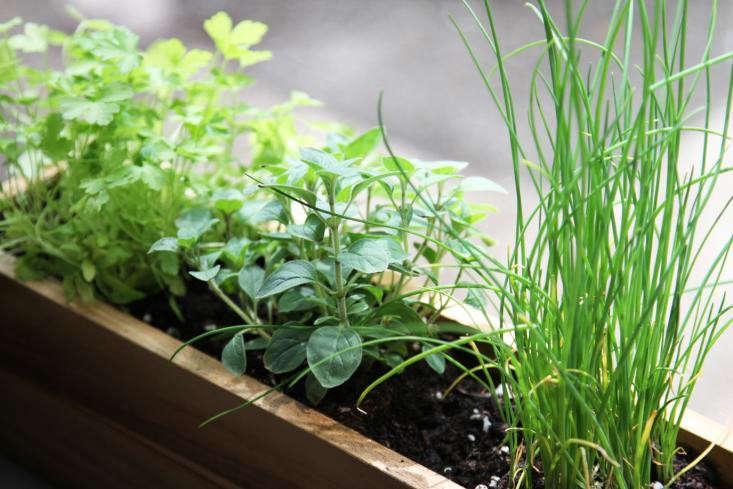 herbs-windowsill-window-box-chives-parsley