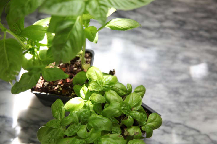 Sweet Basil and Basil Genovese are the same thing; they're the dominant variety you'll find in any store. Photograph by Meredith Swinehart.