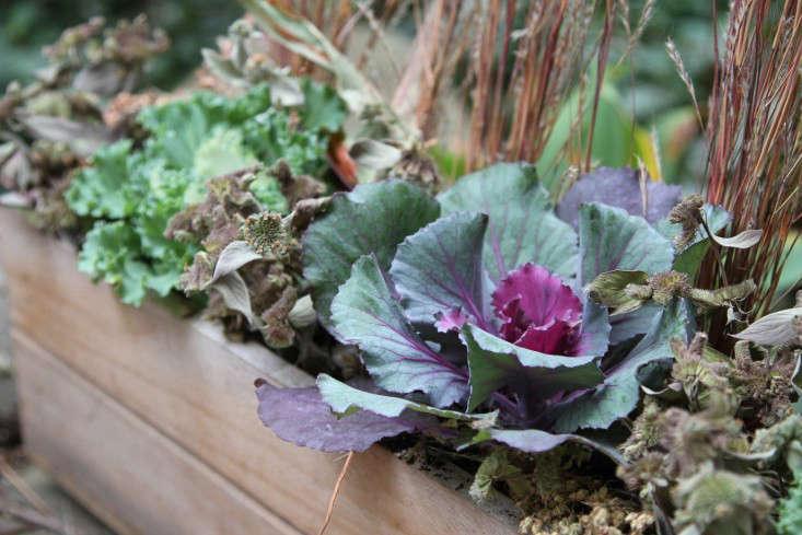 ornamental-kale-12-erinboyle-gardenista