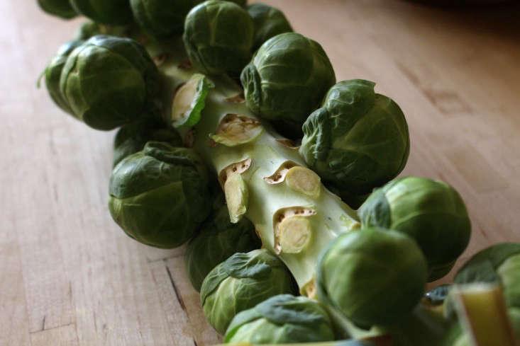 brussels-sprout-stalk-kendra-wilson-gardenista-3