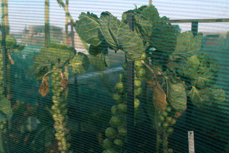 brussels-sprouts-green-shade-cloth-gardenista