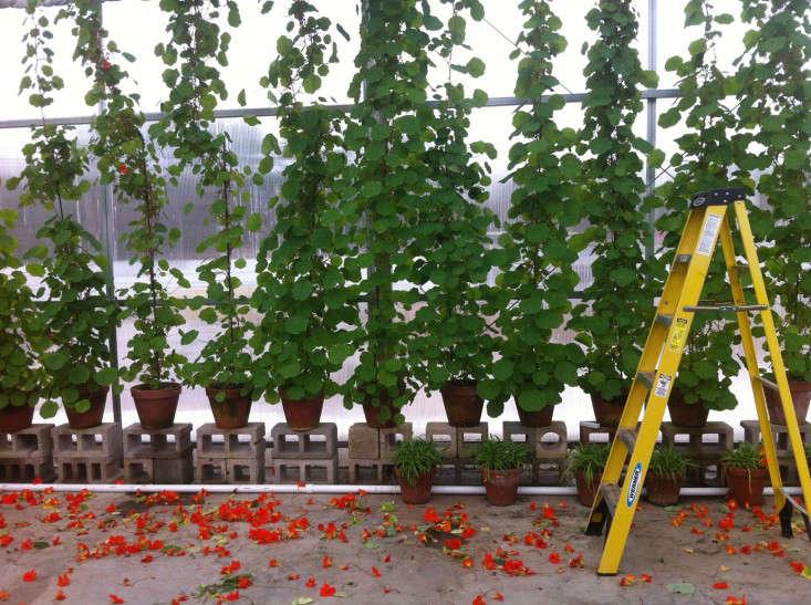 nasturtiums-isabelle-stewart-gardener-muserum-ladder-oranige