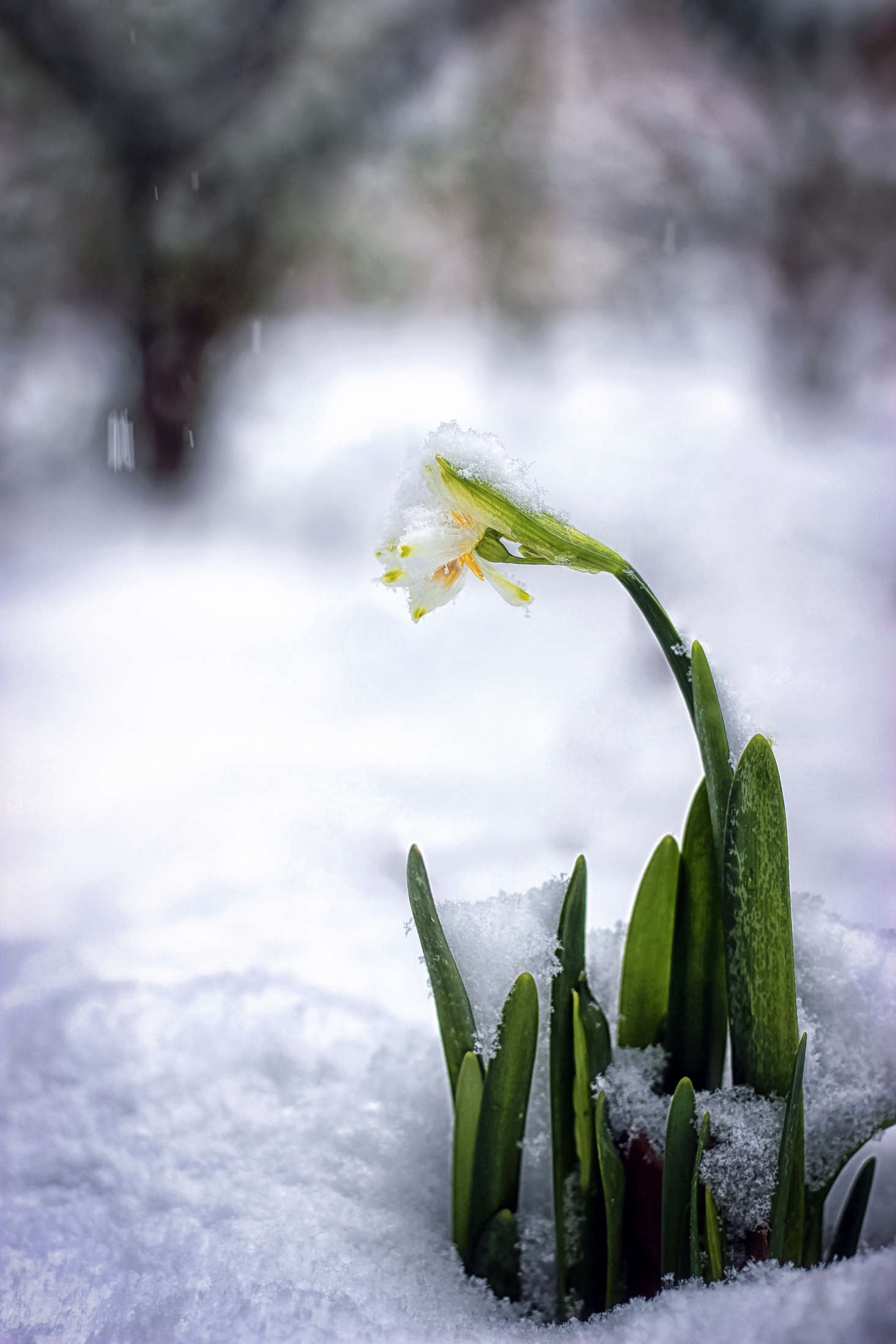 Narcissus blooming in snow. Photograph by Natalia Medd via Flickr.