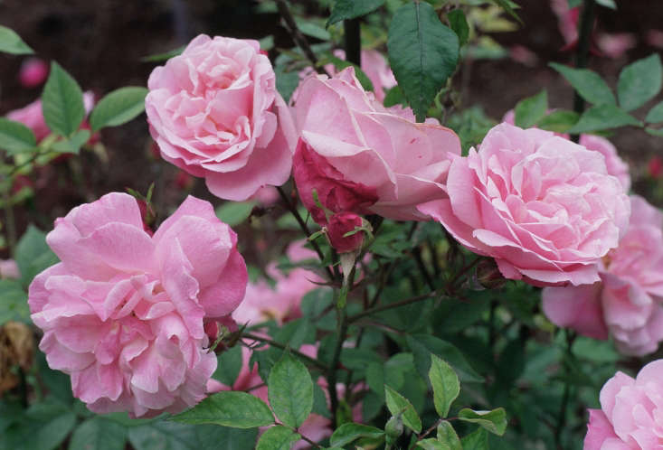 Rosa Old Blush by A. Barra via Wikimedia.