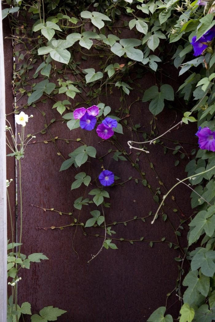 Creeping fig, Japanese anemones, and morning glory. See more of this garden in The Landscape Designer Is In: Drought Tolerant, Deer Resistant—and on a Budget—In Berkeley. Photograph by Leslie Williamson.