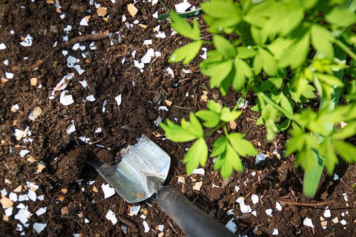 Justine adds crushed eggshells to enrich soil. Photograph by Justine Hand. For more see Gardening src=