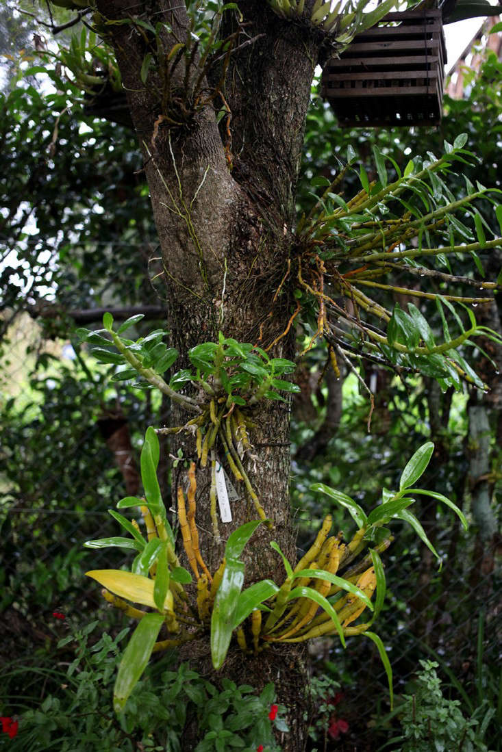Epiphytic orchids cling to a tree trunk.Many of the orchids in Jorge&#8