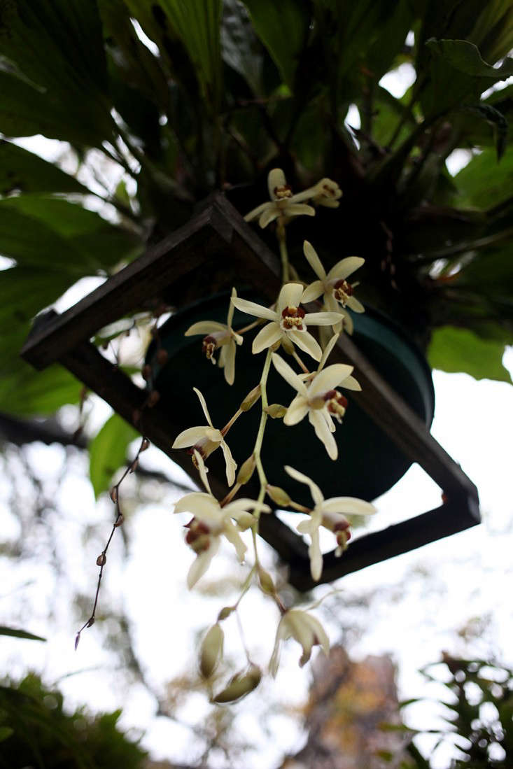 This orchid looks similar to the Miltonia flavescens,said to be native to Peru andfound in Argentina, Brazil, and Paraguay.