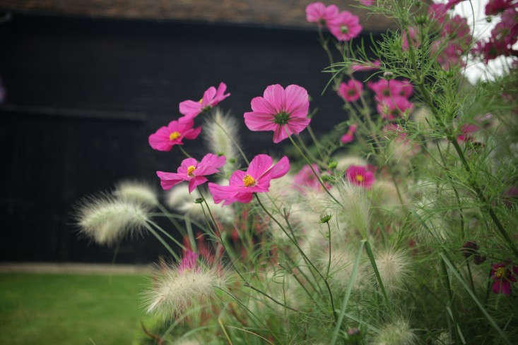Interplanted with fuzzy-headed grassPennisetum villosum,pink cosmos 'Dazzler' will keep blooming all summer if you cut back spent flowers. See more at In the Garden with Philippa: Brit Style with a Black Backdrop. Photograph by Jim Powell.