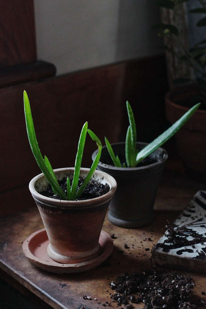 A gift fit for a king, or anyone really, our baby aloes await a new home.