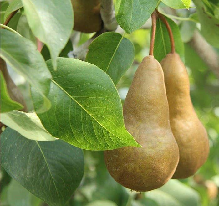 bosc-pear-duo-on-tree