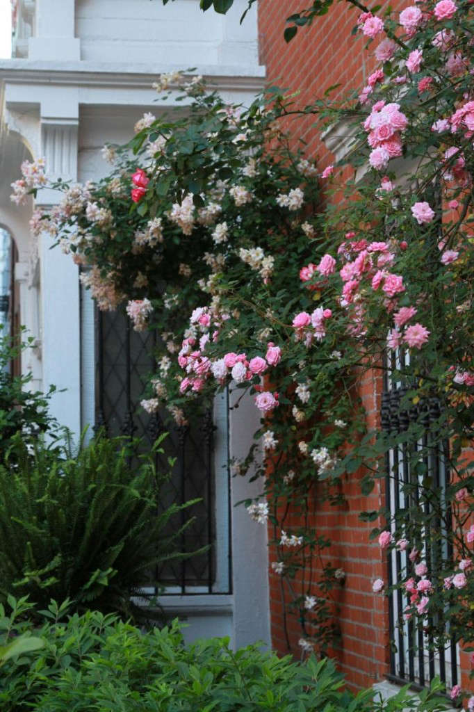 The nearly thornlessZéphirine Drouhin Climbing Rose is Michelle&#8