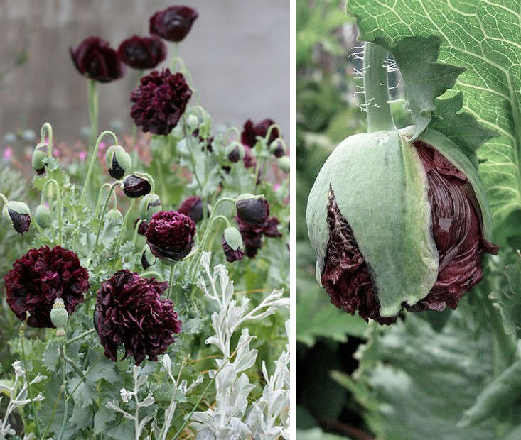 11-Black-Flowers-Every-Garden-Needs-papaver-black-peony-gardenista