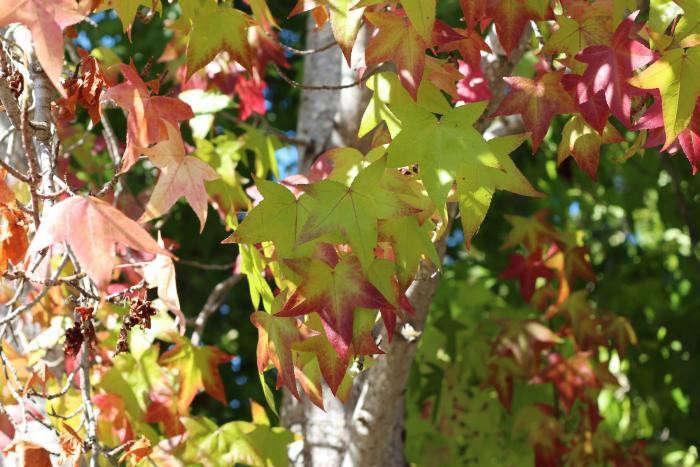 Maple tree? That&#8