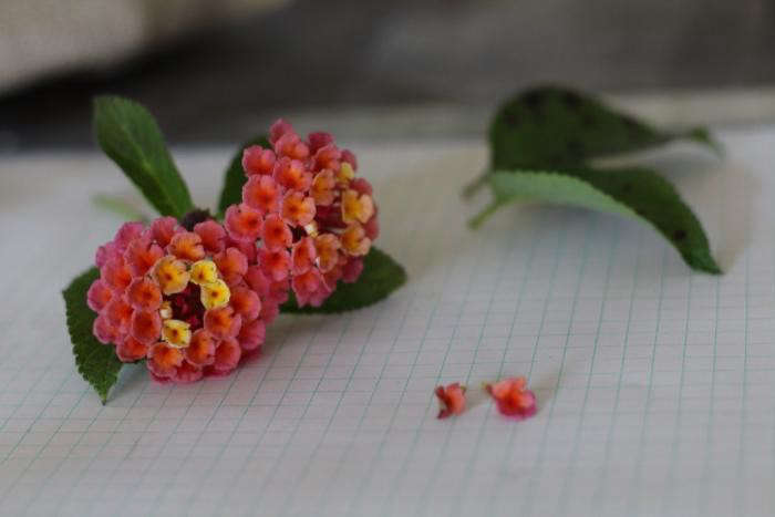 This is lantana, a common ground cover in my neighborhood. It&#8