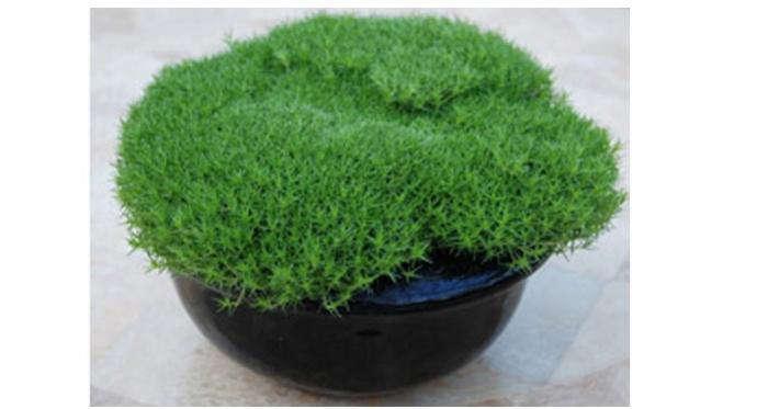 700_pot-of-irish-moss-1