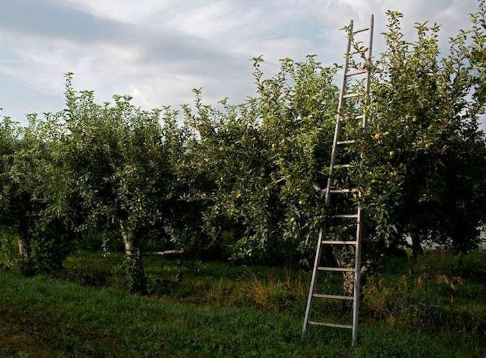 Apple-Orchard-Ladder