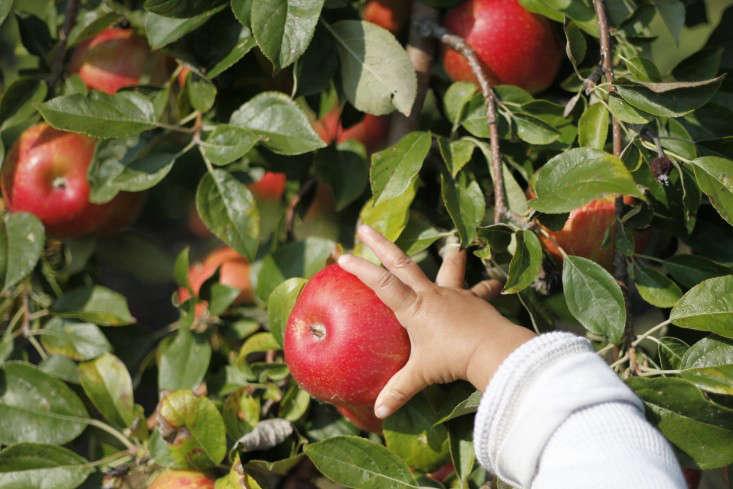 Apple-picking-orchard-sweet-berry-farm-RI-christine-chitnis-gardenista-5