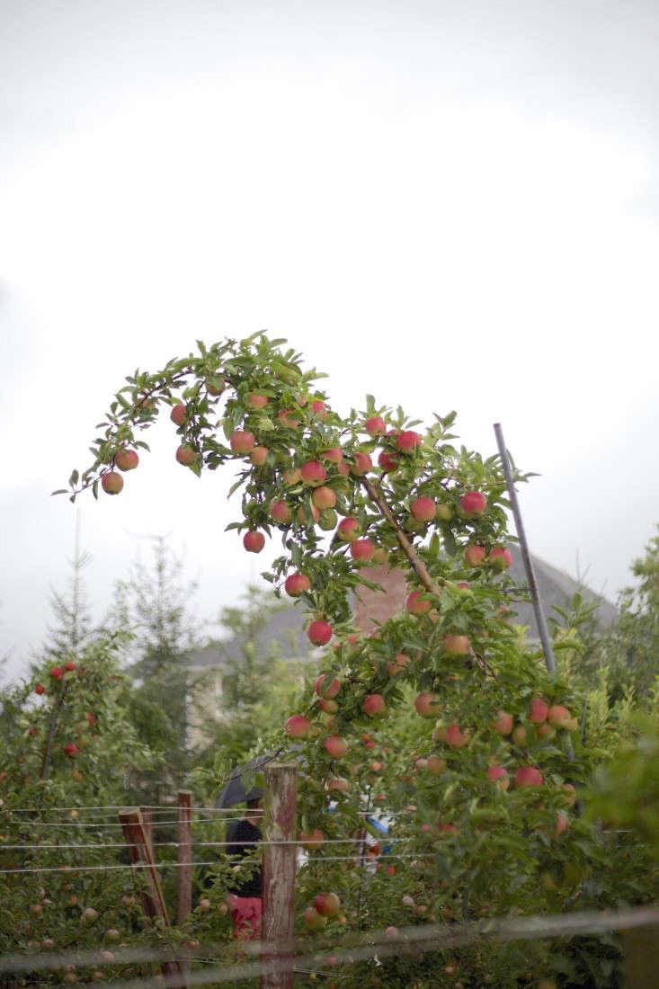 Apple-picking-orchard-sweet-berry-farm-RI-christine-chitnis-gardenista-9