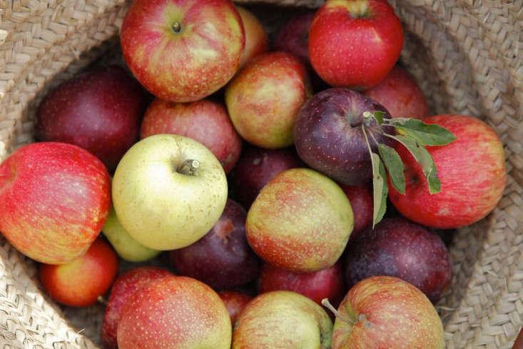 Apple-picking-orchard-sweet-berry-farm-RI-christine-chitnis-gardenista