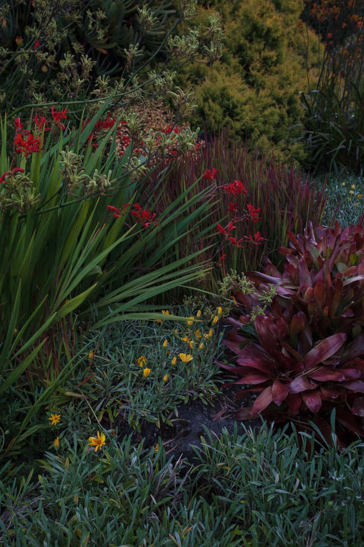 Deep-red kangaroo paws make a memorable appearance at Ayrlies, in New Zealand. Photograph by Ingalls Photography, from Garden Visit: Beverley McConnell&#8