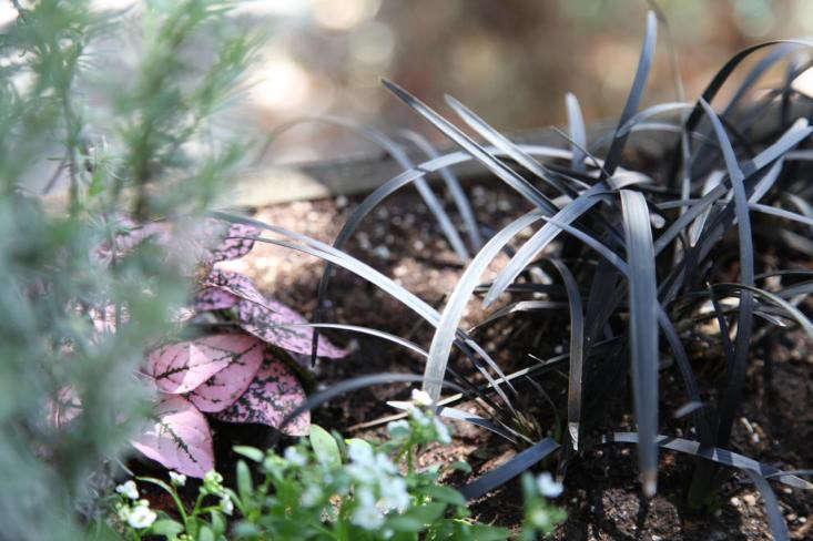 Black mondo grass plays beautifully against purple or pink foliage. Photograph by Meredith Swinehart.