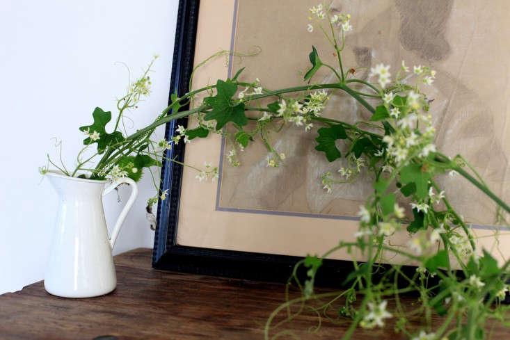 Cucumber_vine_Sophia_moreno_bunge-gardenista
