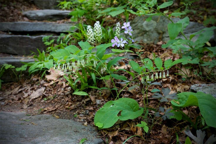 New England natives hairy Solomon's seal (Polygonatum pubescens), foamflower (Tiarella), and wild blue phlox (Phlox divaricata) are sweetly delicate in a woodland setting. See more in Walk on the Wild Side: A New England Woodland Garden. Photograph by Justine Hand.
