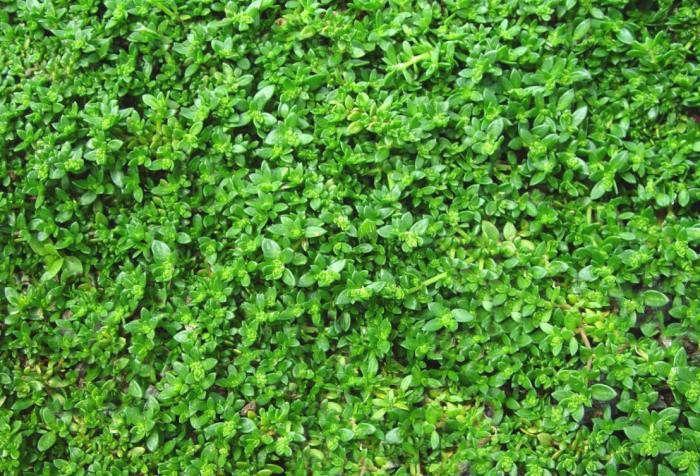 Green_Carpet_Rupturewort_Lawn_Alternative_Gardenista