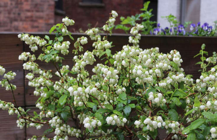 blueberry-bush-flowers-brooklyn-marie-viljoen-gardenista