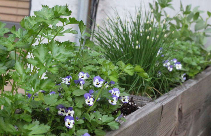 planter-box-herbs-violas-pansies-66-square-feet-gardenista