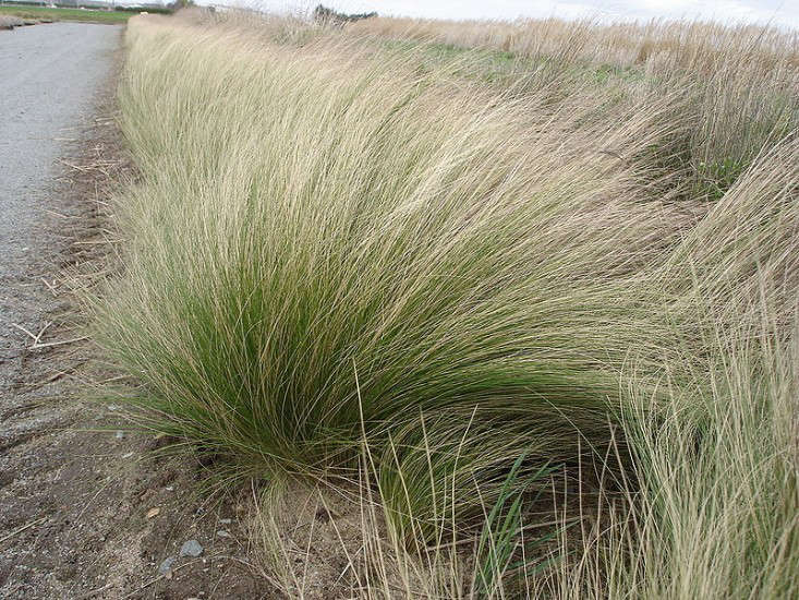 Stipa tenuifolia will grow in happy clumps even in poor soil. For more, see  Easy Pieces: Tough Perennials for City Gardens. Photograph courtesy of Wikimedia.