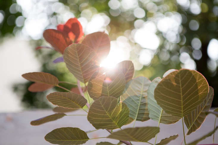 New-Eco-Landscapes-Bed-Stuy8-smoketree-Gardenista
