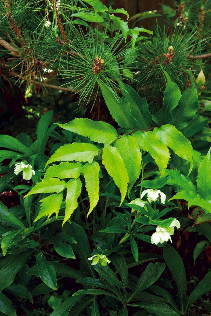 Shade plants include hellebores (Helleborus niger); violets (Viola odorata &#8