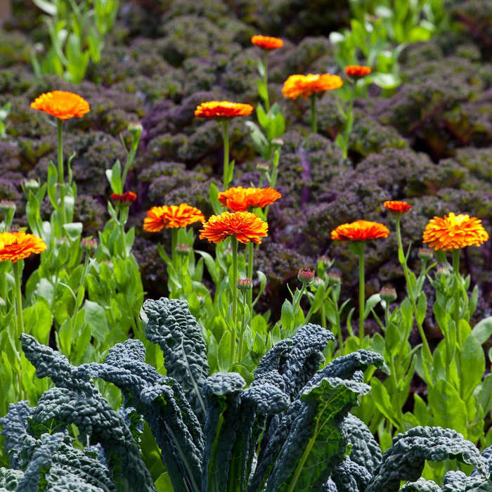 Kale and calendula are happy companions in British gardener Sarah Raven&#8\2\17;s garden. For more, see Ask the Expert: Sarah Raven&#8\2\17;s \10 Tips for Growing a Kitchen Garden. Photograph by Jonathan Buckley.