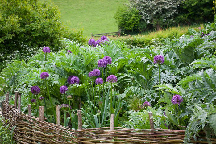 Perennial artichokes mix with bulbs and tubers in three layers: dahlias in trenches at the lowest level; allium varieties in the middle level; and artichokes at the top level. Photograph by Jonathan Buckley, from Ask The Expert: Sarah Raven&#8