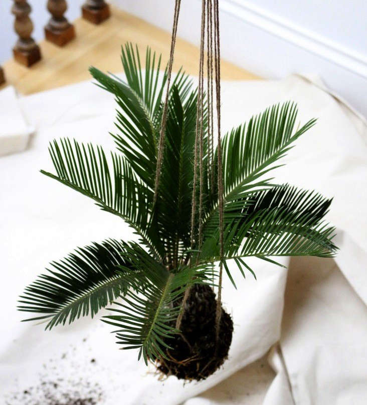 A sago palm. See more in 5 Houseplants that Changed History. Photograph by Erin Boyle.