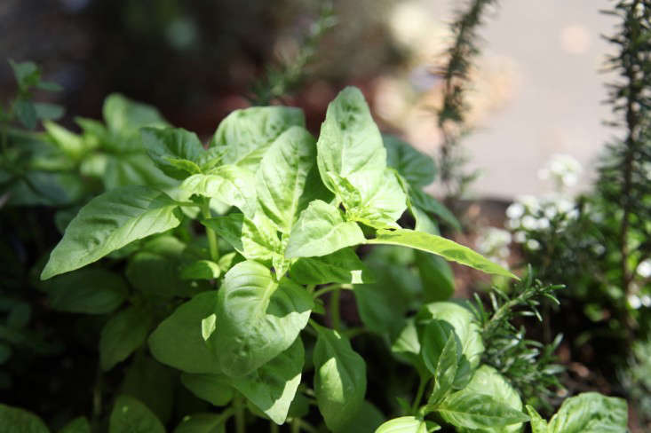 Photograph by Meredith Swinehart, from Will I Ever Be Able to Grow Enough Basil to Make Pesto? Also, see Gardening src=