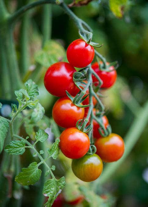 Tomato-whiteonericecoupld
