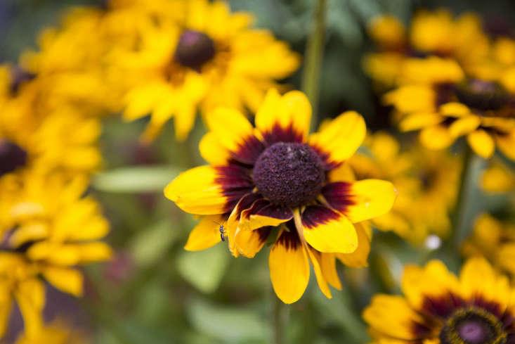 West_Village_Boules_0319_conflower_Gardenista