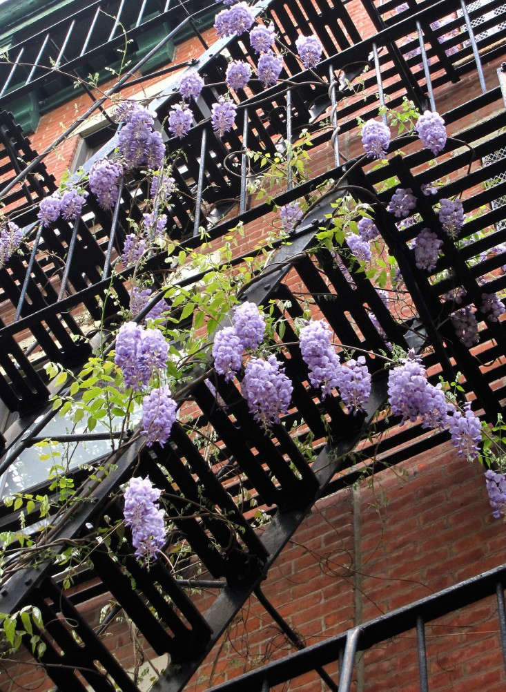 apartment-garden-ideas-to-steal-fire-escape-wisteria-marie-viljoen-gardenista