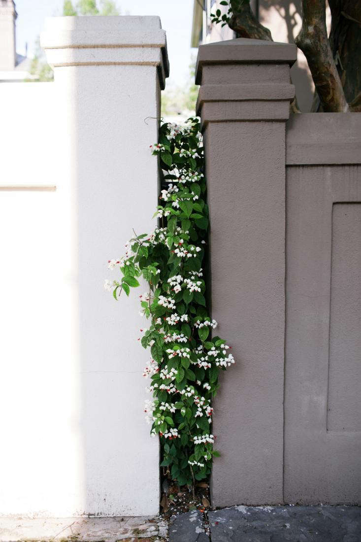 A bleeding heart vine pokes out between two walls—and unites them visually—in Charleston, South Carolina, during A Walk in the Neighborhood in Charleston. Photograph by Olivia Rae James for Gardenista. (see Cottage Garden Flowers: Bleeding Hearts and Dutchman&#8