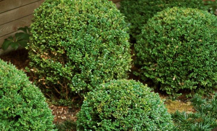 boxwood-balls-shrubs-1-gardenista
