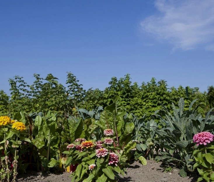 brewster-garden-bed-dahlias-gardenista