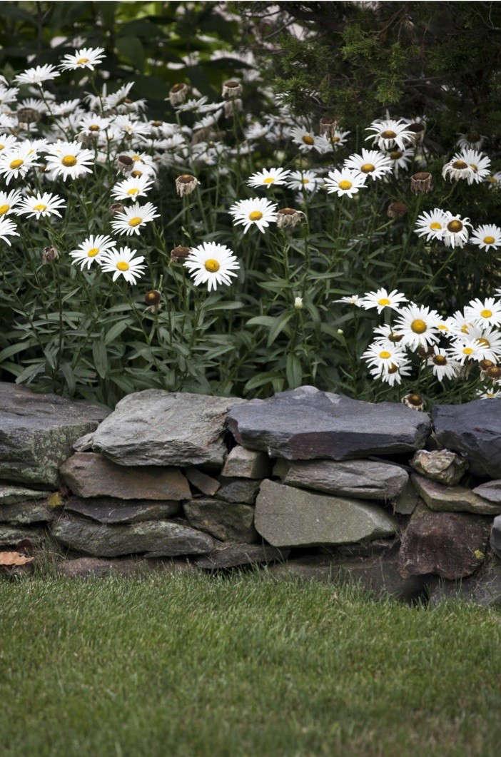 brewster-garden-daisies