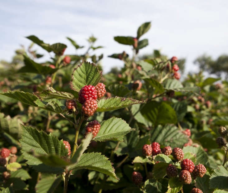 Raspberries grow on woody, rambling canes in dense mounds called brambles. The canes need to be cut back after the last harvest. See All About Raspberries: Edible Garden Cheatsheet. Photograph by Nathan Fried Lipski of Nate Photography, from Rhode Island Roses: A Seaside Summer Garden in New England.