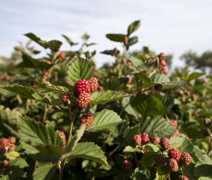 brewster-house-little-compton-raspberries