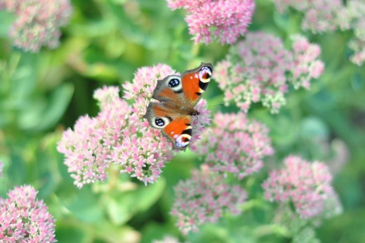 butterflies1491