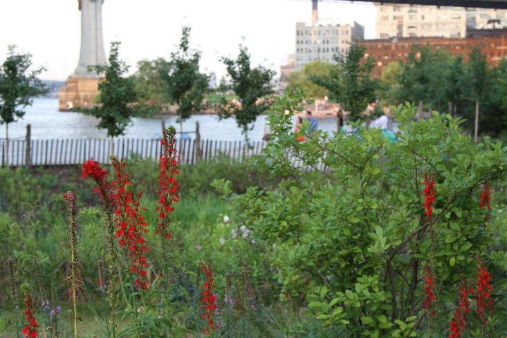 Cardinal flower in bloom at Brooklyn Bridge Park. Photograph by Erin Boyle.