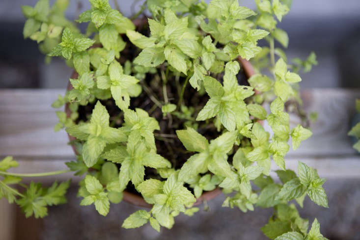 Pots of mint and other herbs sit on a ledge beside the stairs leading down to the yard, close at hand whether the food prep is indoors or out.